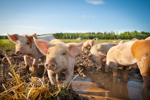 How are animals raised organically?